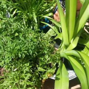 イタリアン野菜と山菜の苗の購入