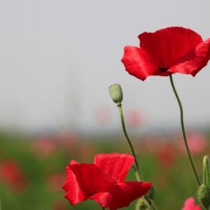 ひなげしの花