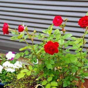 今年もミニ薔薇が咲きました!
