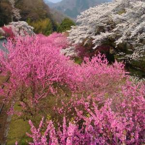 桜を追い越す。