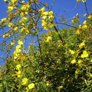 黄色い冬の花