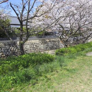 龍馬の歩いた町の桜