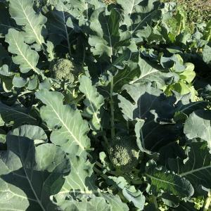 野菜ガーデン 食べるの専門