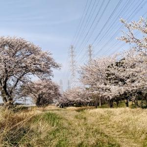 Cherry Blossom 今年の桜スケッチ2