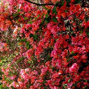 花の生け垣 / The Flower Hedge