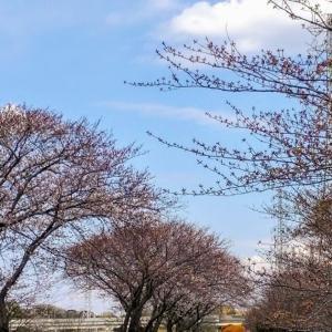 Cherry Blossom Sketch 今年の桜