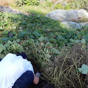 さつまいも「安納芋」収穫|今年は豊作!