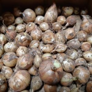 ホームタマネギ(シャルム)の種球の収穫