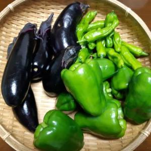 夏野菜の収穫が始まりました ナス,ピーマン、シシトウ