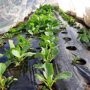 マルチ混植栽培 枝豆の収穫開始 リレー栽培