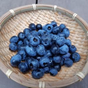 ブルーベリーの収穫とブルーベリーの挿し木の方法