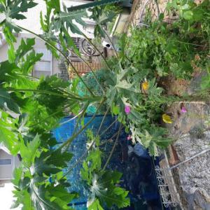 【家庭菜園】パパイヤのハワイオウロにつぼみ