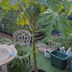 鉢栽培のパパイヤ 越冬準備
