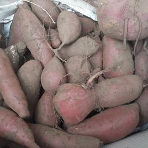 サツマイモの収穫  ポット苗