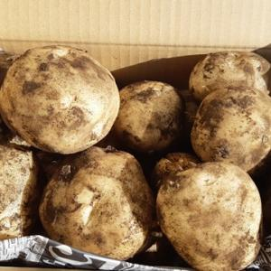 ジャガイモ「ニシユタカ」とサトイモの試し掘り