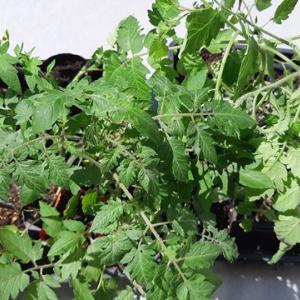 ミニトマトのアイコ、オレンジアイコ、大玉トマトの麗夏の植え付け