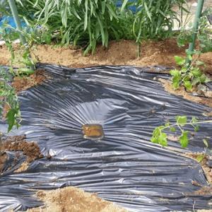 【キッチンガーデン】ミニトマトの植え付け アイコ、オレンジアイコ、麗夏