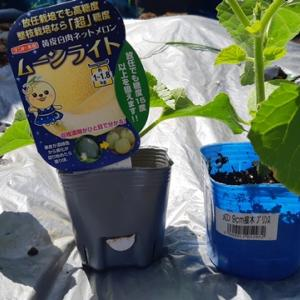 【キッチンガーデン】メロンとスイカの植え付け