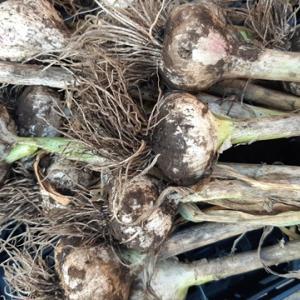 にんにくの収穫 今年はにんにくの芽が少ない