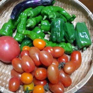 夏野菜の収穫がはじまりました|トマト、ミニトマト、万願寺とうがらし