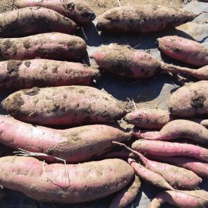 サトイモ「土垂」とサツマイモ「べにはるか」を試し掘り