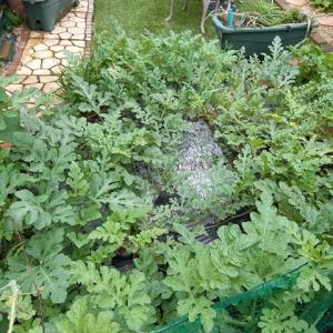 【キッチンガーデン】庭で栽培中のスイカがピンチ。ベト病が蔓延