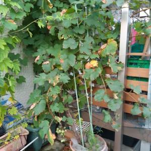 【鉢栽培】巨峰の初収穫。防鳥対策に袋がけ。