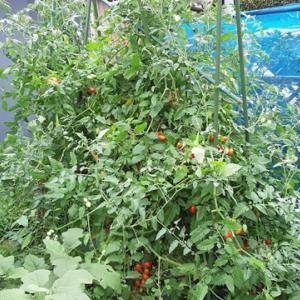 【家庭菜園】ミニトマトのアイコが好調です