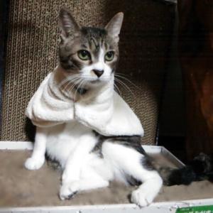 【百均】手作り!猫用ケープ