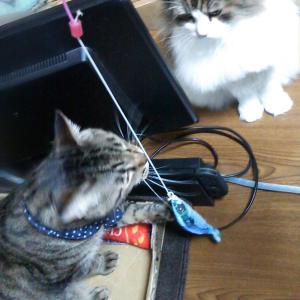 FISH! 猫釣れちゃった?! カインズで買ったお魚型猫じゃらし交換用TOPに興味津々