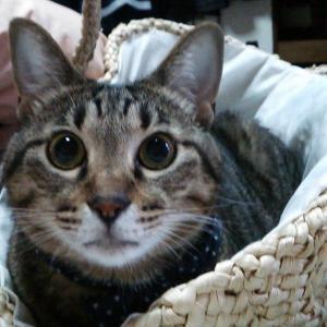 お気の毒ですが、おニューのカゴバッグは猫様のベッドになりました。