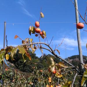 柿の生産地を訪ねて。