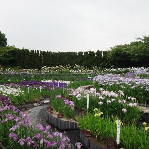 なばなの里(三重県桑名市) 2020年の「あじさい・花しょうぶまつり」は中止です