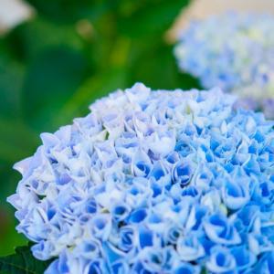 紫陽花のドライ&素敵便