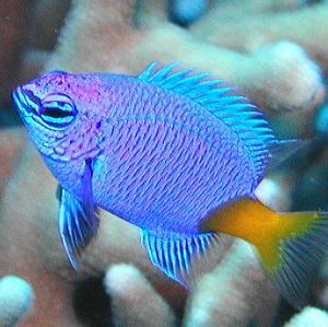 シリキルリスズメダイの生態と飼い方|性格、寿命、混泳、餌、性別、大きさ、オス、メス