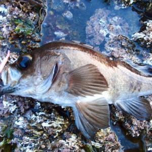 【メバリング入門】メバルをルアーで釣ろう、釣り方・釣れる場所、タックル、ロッド、リール