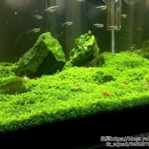キューバパールグラスの育て方|前景草として使える有茎草、トリミング、照明・光、CO2、砂