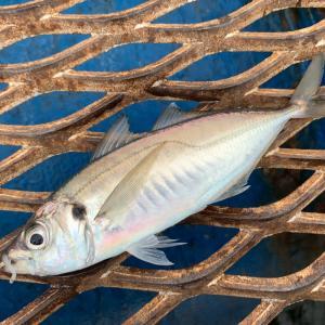 アジの生態と釣り方を解説|釣れる場所、サビキ、カゴ釣り、ルアー、船