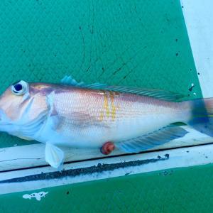 アマダイ釣り入門 アマダイの船釣りに必要なタックル・仕掛け・釣り方を解説