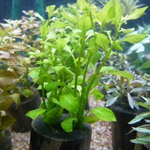 ルドウィジア レペンス グリーンの育成方法 光・照明、肥料、CO2、砂、トリミング、増やし方