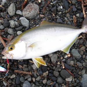 【神奈川県】ライトショアジギングで釣れる魚11種類と釣れる釣り場・ポイントを紹介