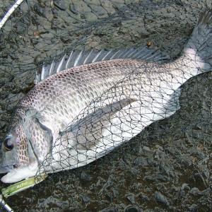 【チニング入門】クロダイ(チヌ)のルアー釣りに必要なタックルとルアー、釣り方を解説 ロッド