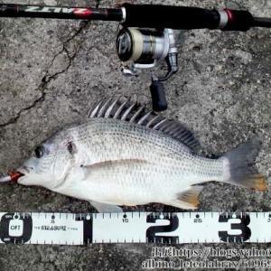 【チニング】チヌ(クロダイ)のルアー釣りで使うロッドの選び方|長さ、ロッドパワー、人気、おすすめ