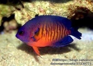 ルリヤッコの飼育方法|価格、性格、混泳、寿命、サイズ、サンゴ水槽、病気、飼い方