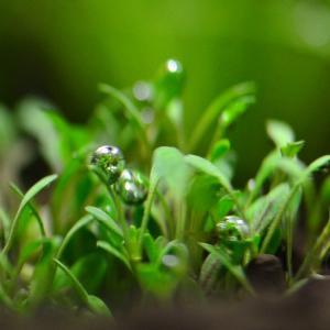 グロッソスティグマの育て方|強い光とCO2がポイント!、光量、肥料、育成方法