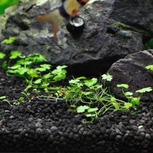 オーストラリアン クローバー/ノチドメの育成方法|照明・光量、CO2、肥料、トリミング、砂