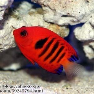 フレームエンゼルの飼育方法|価格、寿命、性格、混泳、餌、病気、サンゴ水槽、飼い方