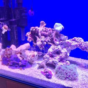 ディスクコーラルとウミキノコを追加 60cm水槽でサンゴ飼育