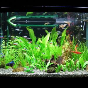初心者におすすめの熱帯魚13種類 丈夫で飼育も簡単 小型水槽で飼える