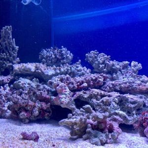 90cmサンゴ水槽立ち上げPart2 charmとカイナッツォのライブロック投入!